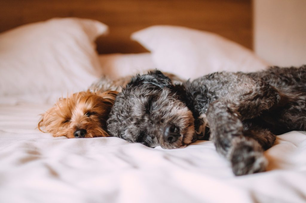 2 dogs on the bed